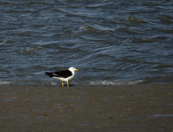 IMG_2620 Olrog's Gull