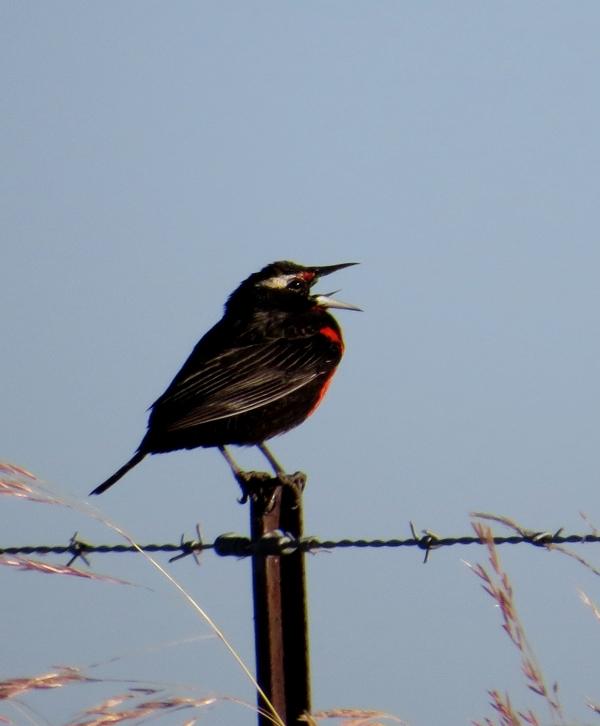 IMG_2646 Pampas Meadowlark