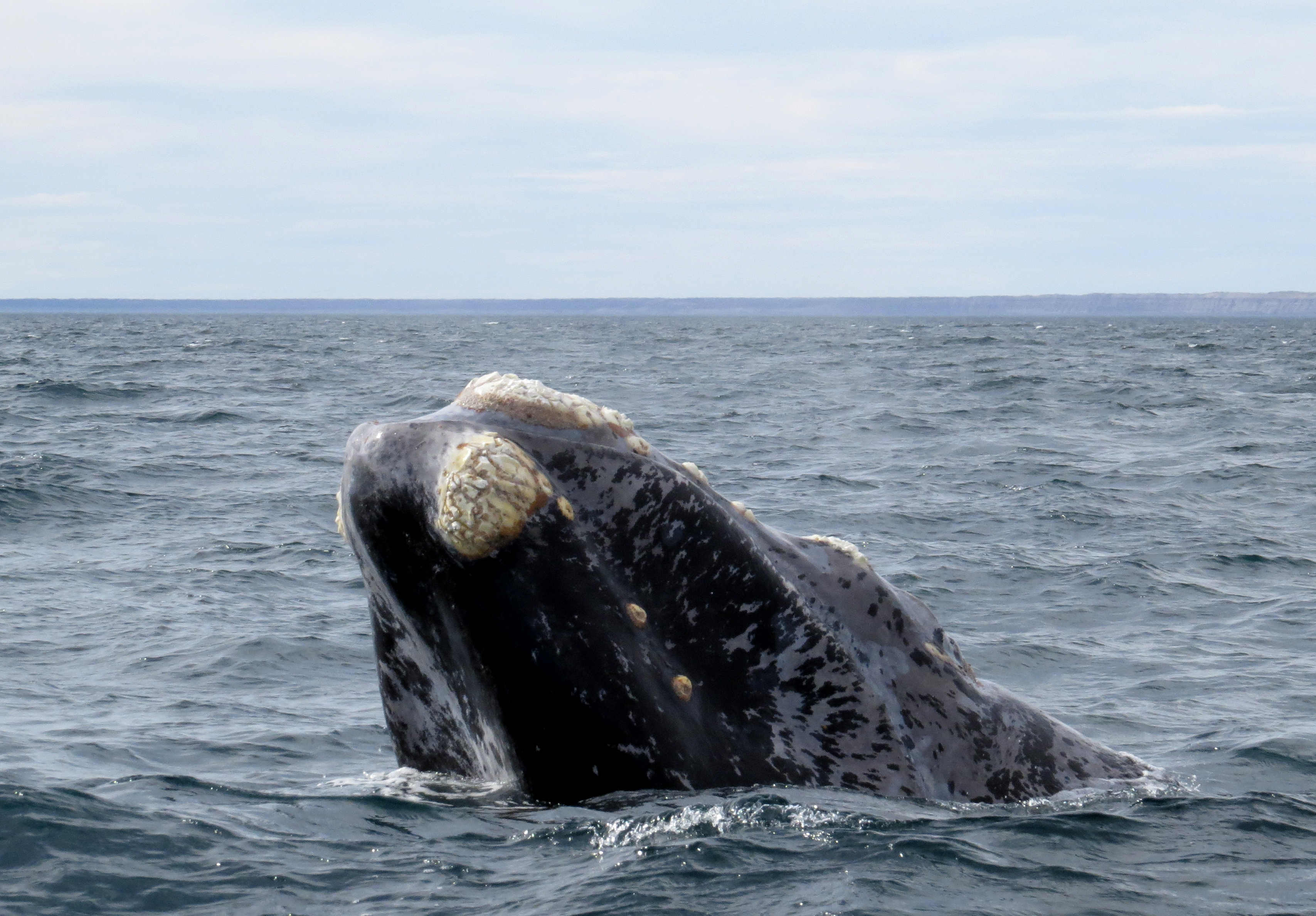 right whale Stretching up to 168 meters (55 feet) long and weighing up to 62 tons (70 tons), the north atlantic right whale is one of the world's largest animals.