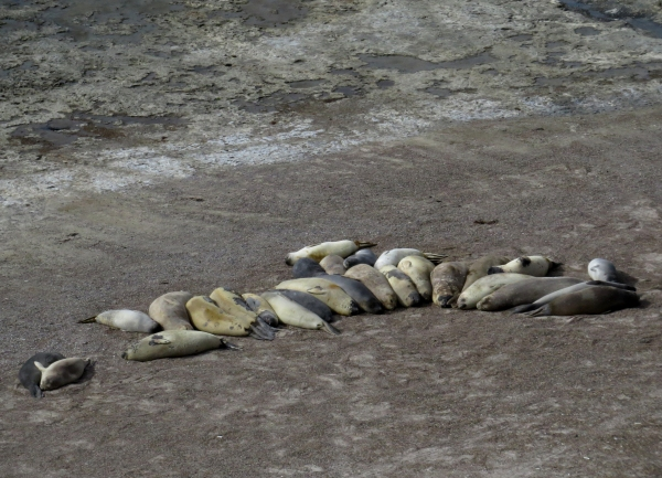 IMG_2912 Elephant Seals