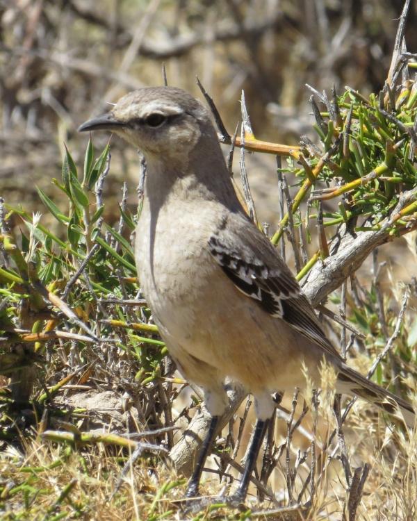 IMG_3112 Patagonian Mockingbird