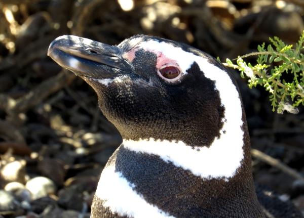 IMG_3152 Magellanic Penguin