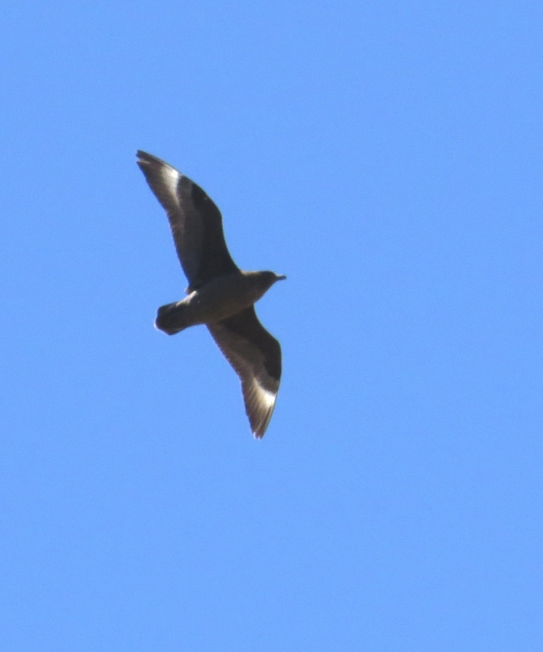 IMG_3212 Brown Skua