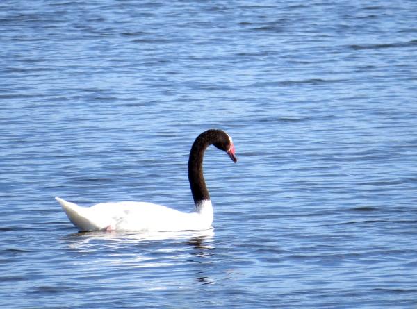IMG_3305 BN Swan