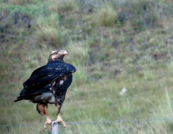 IMG_3355 BC Buzzard Eagle