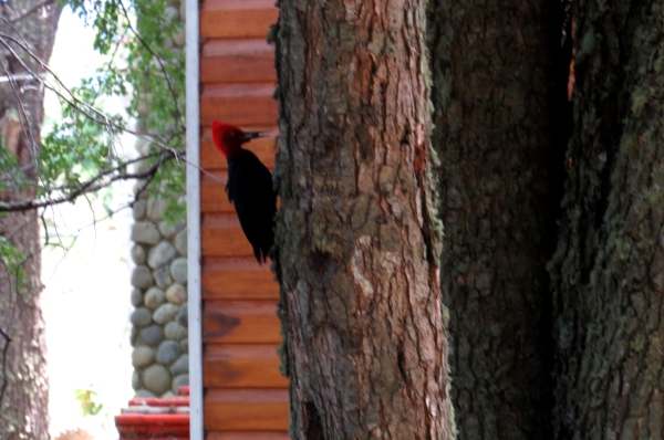 IMG_3495 Magellanic Woodpecker