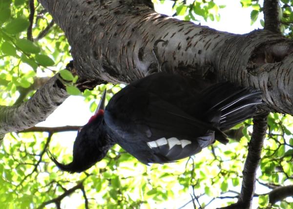 IMG_3507 Magellanic Woodpecker