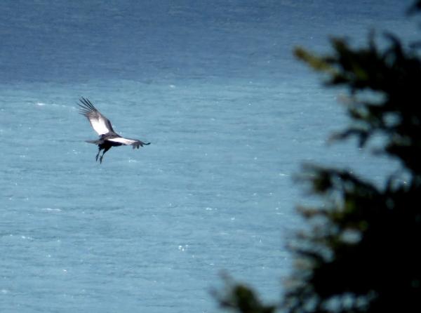IMG_3535 condor