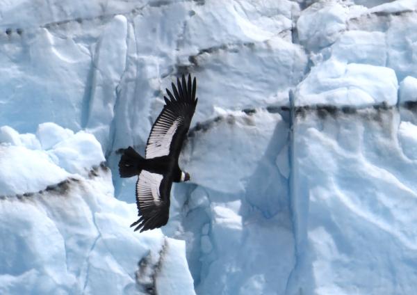 IMG_3541 Condor 3