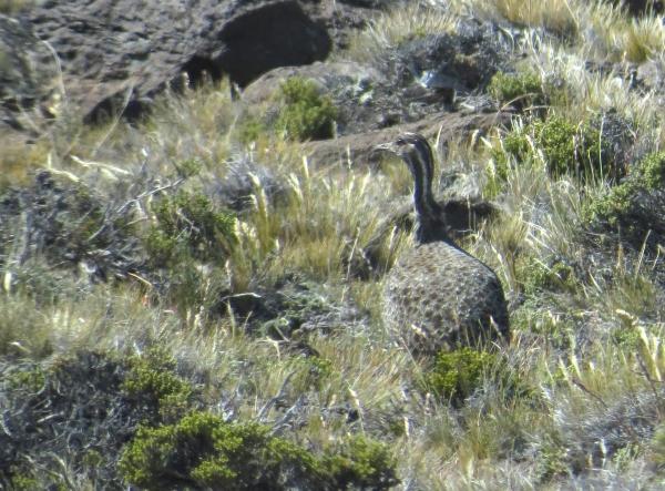 IMG_3670 Patagonian Tinamou