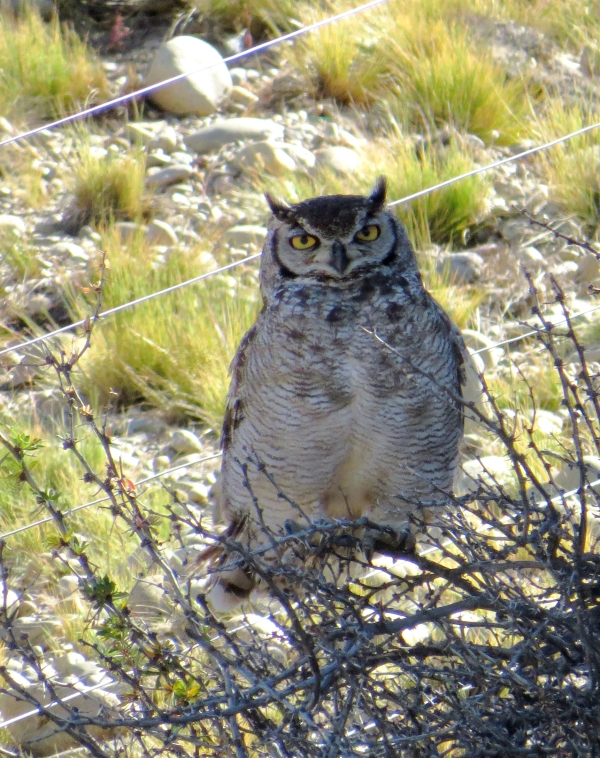 IMG_3707 Magellanic Horned Owl