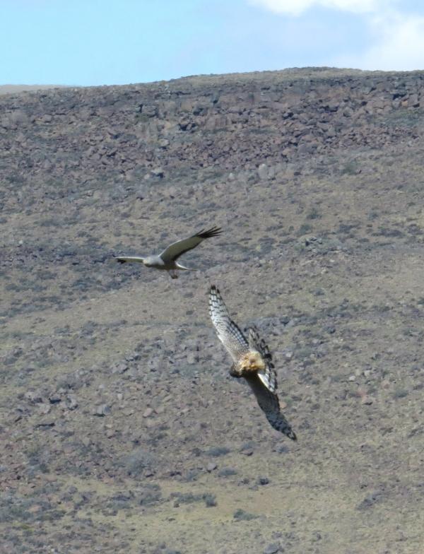 IMG_3725 Cinereous Harrier