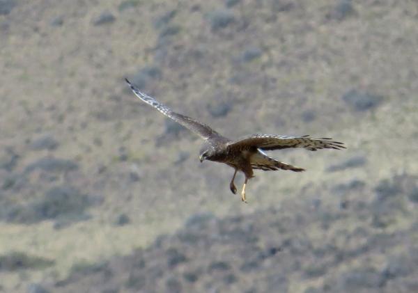 IMG_3730 Cinereous Harrier