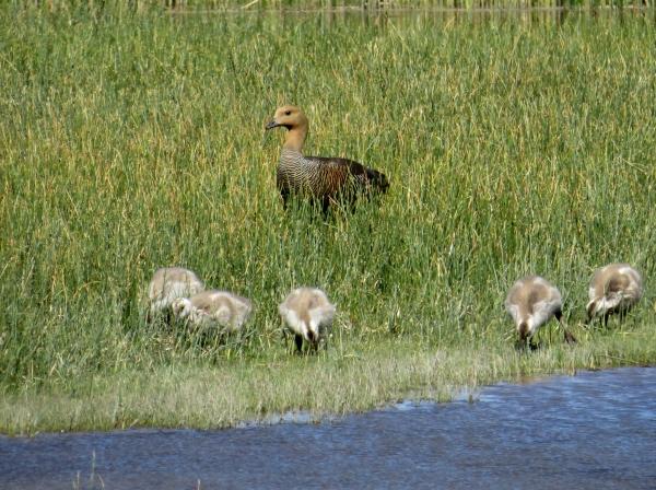 IMG_3739 Upland Goose