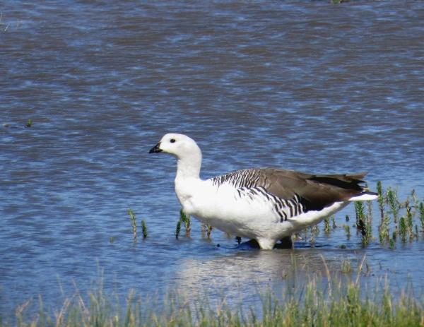 IMG_3741 Upland Goose