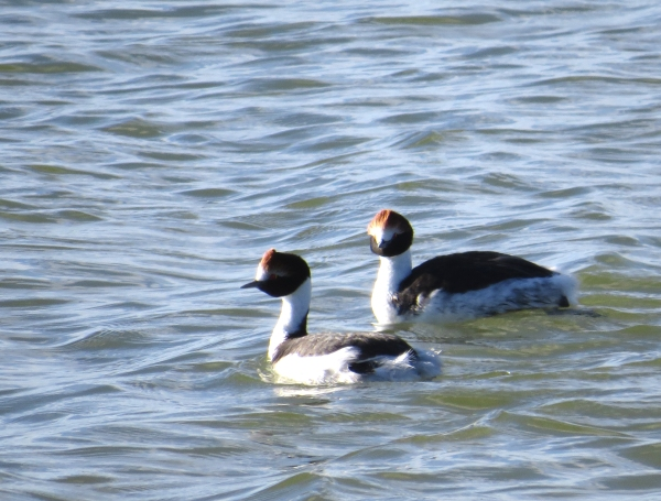 IMG_3885 Hooded Grebes