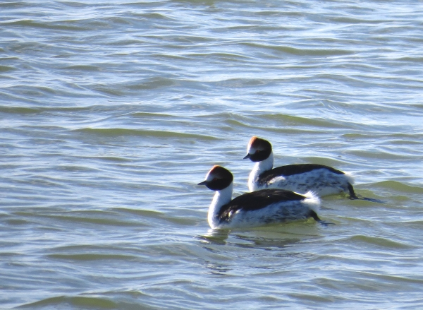 IMG_3893 Hooded Grebes