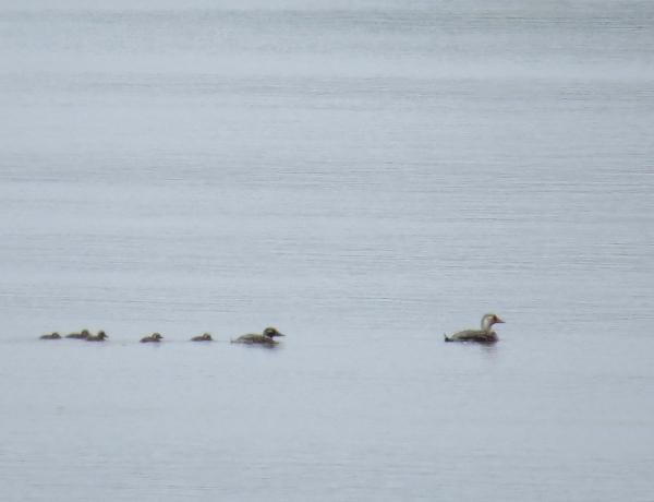 IMG_3910 Flying Steamer Duck