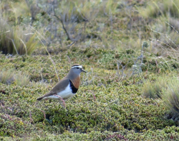 IMG_3939 Rufous-chested Dotterel
