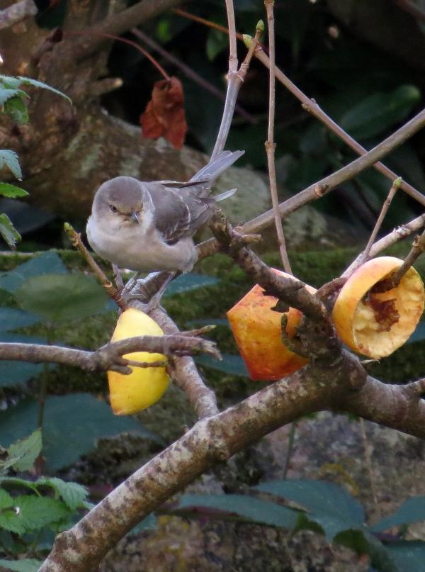 IMG_3953 Barred Warbler