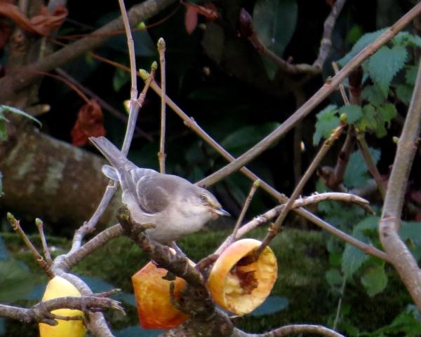 IMG_3960 Barred Warbler