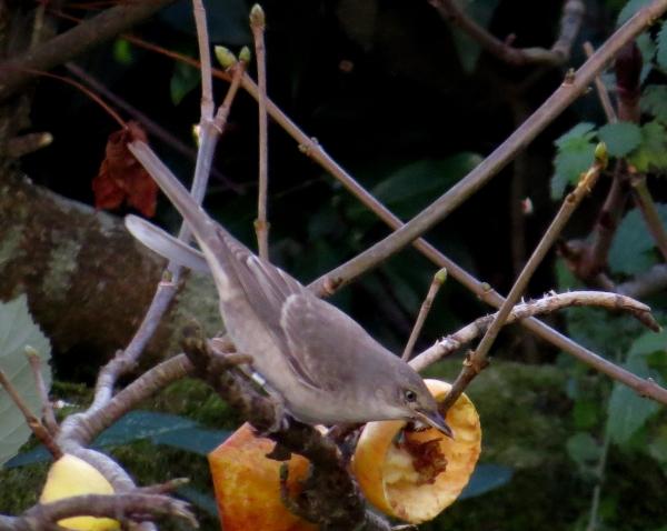 IMG_3964 Barred Warbler