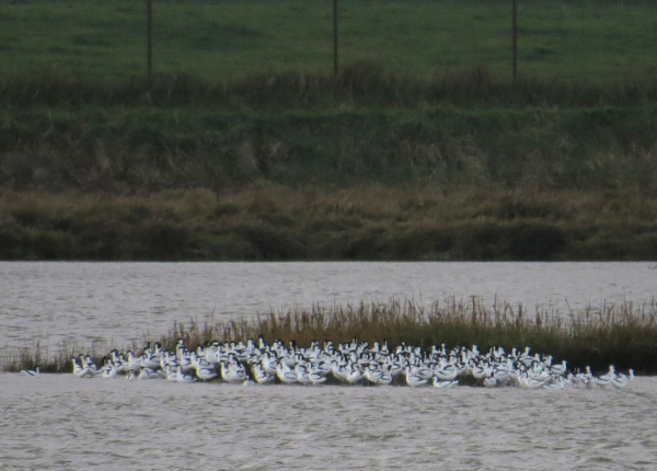 IMG_4052 Avocets Blackwater River