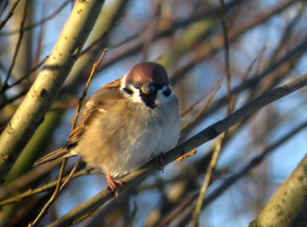IMG_4230 Tree Sparrow best