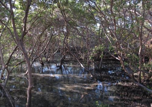 IMG_0009 mangroves