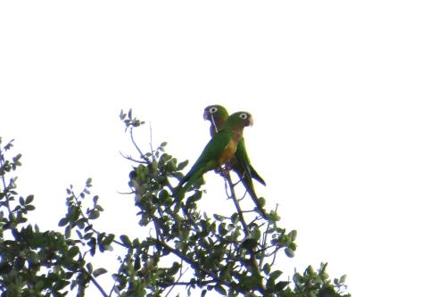 IMG_0410 Caatinga Parakeet