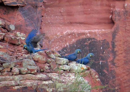 IMG_0529 Lear's Macaws