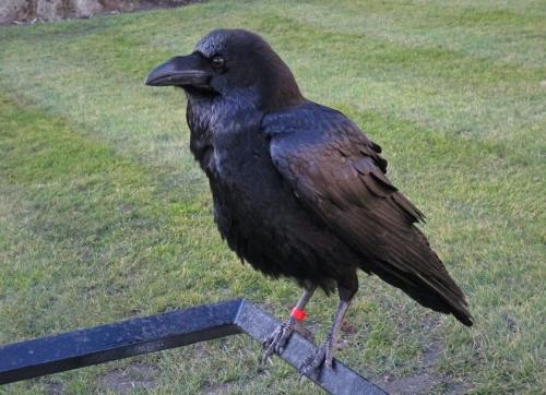 IMG_1563 Raven TOL