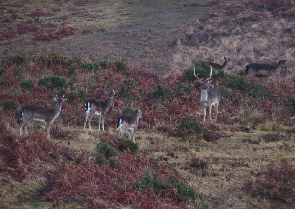 IMG_2589 Fallow Deer New Forest