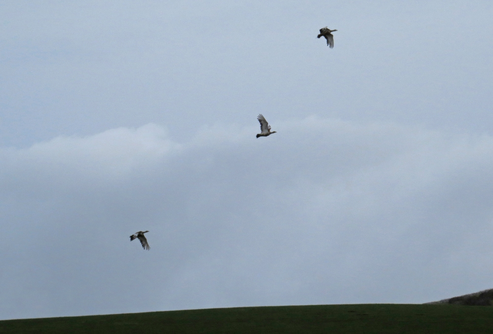 IMG_2596 Great Bustards