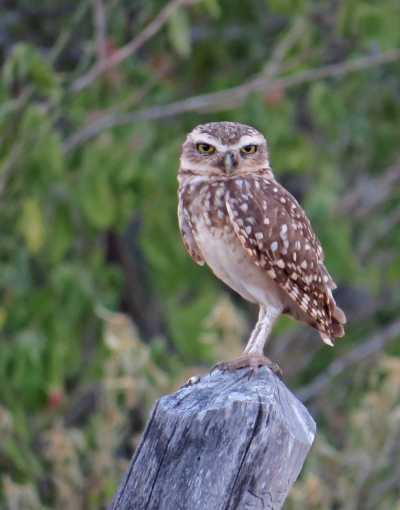 IMG_0698 Burrowing Owl