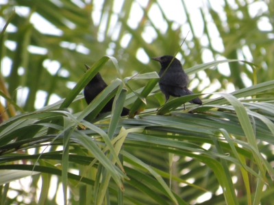 IMG_0717 Forbes Blackbirds