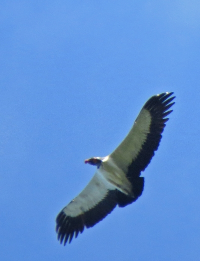 IMG_0868 King Vulture