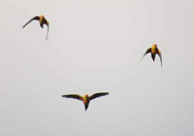 IMG_0925 Jandaya Parakeet