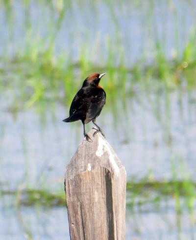IMG_0968 Chestnut-headed Blackbird