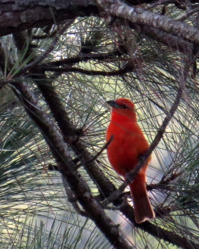 IMG_1132 Red (Hepatic) Tanager