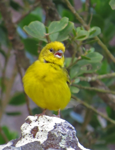 IMG_1160 Stripe-tailed Yellow Finch
