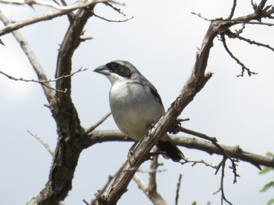 IMG_1282 Shrike-like Tanager