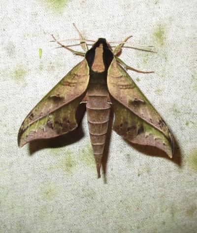 IMG_1468 Hawk moth