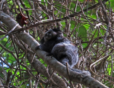 IMG_1478 Weid's Black-tufted eared Marmoset
