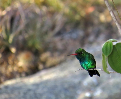 IMG_1576 Glittering-bellied Emerald