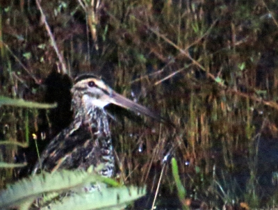 IMG_1594 Giant Snipe