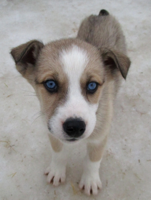 IMG_1631 Husky puppy