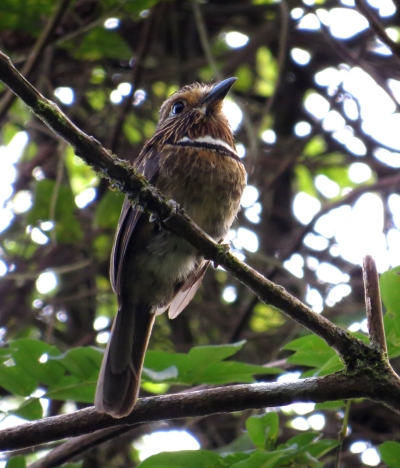 IMG_1807 Crescent-chested Puffbird
