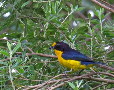 IMG_2066 Golden-bellied Euphonia
