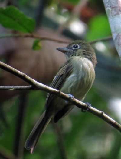 IMG_2209 Olivaceous Flatbill